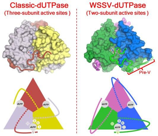 Unusual structural features of the dUTPase of white spot syndrome virus provide a unique opportunity for antiviral development
